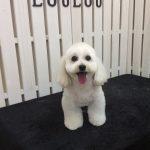 MIX犬 ココちゃん トリミング