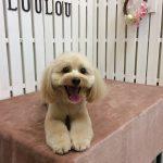 MIX犬のモコちゃん  トリミング