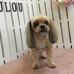 MIX犬 モコちゃん トリミング