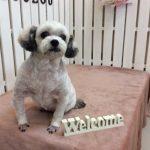 MIX犬 ポコちゃん トリミング