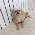 MIX犬 ミルキーちゃん トリミング