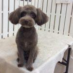 MIX犬 ティフィンちゃん トリミング