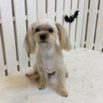 MIX犬 ソフィアちゃん トリミング