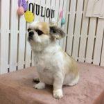 MIX犬 ポロちゃん トリミング